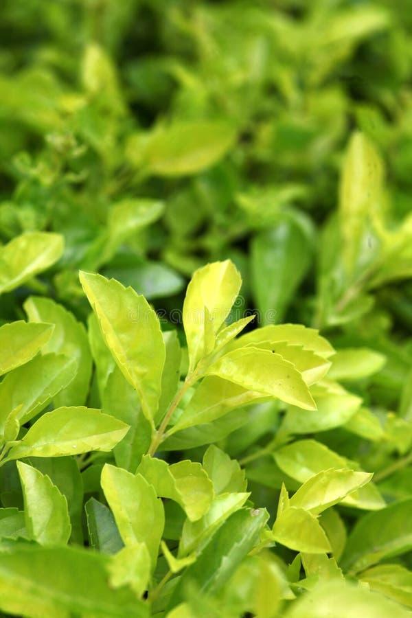 Duranta leaves stock image