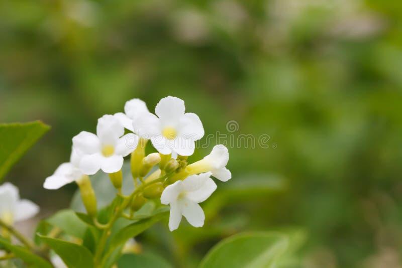 Duranta ou fleur d'or de goutte de rosée photographie stock libre de droits