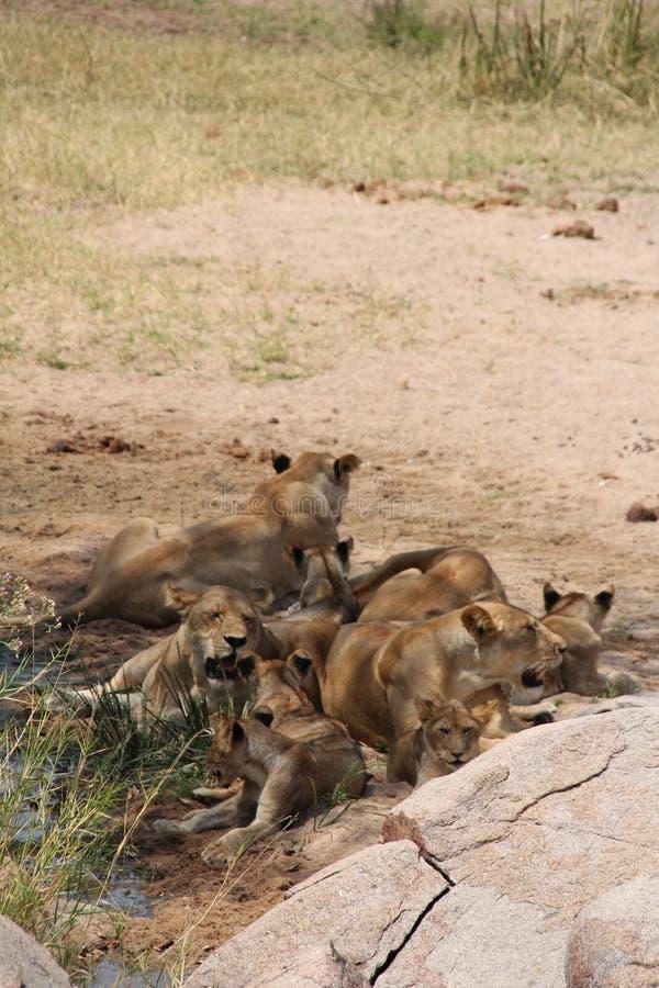 Durante il tempo di giorno la maggior parte del resto del leone dopo alimento ed acqua immagine stock libera da diritti