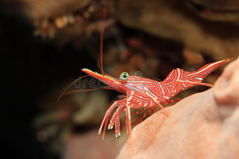 Durban Dancing Shrimp. (Rhynchocinetes Durbanensis, aka Hingebeak Prawn, Hinge-beak Shrimp). Padang Bai, Bali, Indonesia stock photos