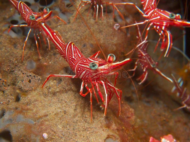 Durban Dancing Shrimp. Strutting their stuff on a sponge at Seraya Secrets, Bali royalty free stock photography