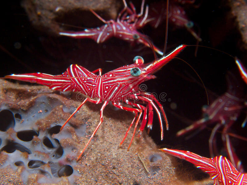 Durban Dancing Shrimp. Strutting their stuff on a sponge at Seraya Secrets, Bali stock photography
