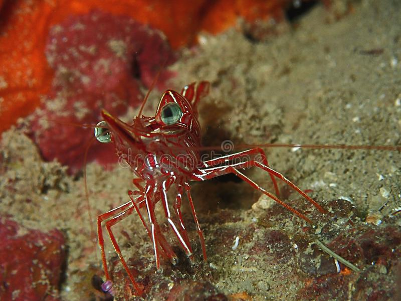 durbanensis de Rhynchocinetes del camar?n del Bisagra-pico en coral duro durante zambullida del ocio en Sabah, Borneo foto de archivo libre de regalías