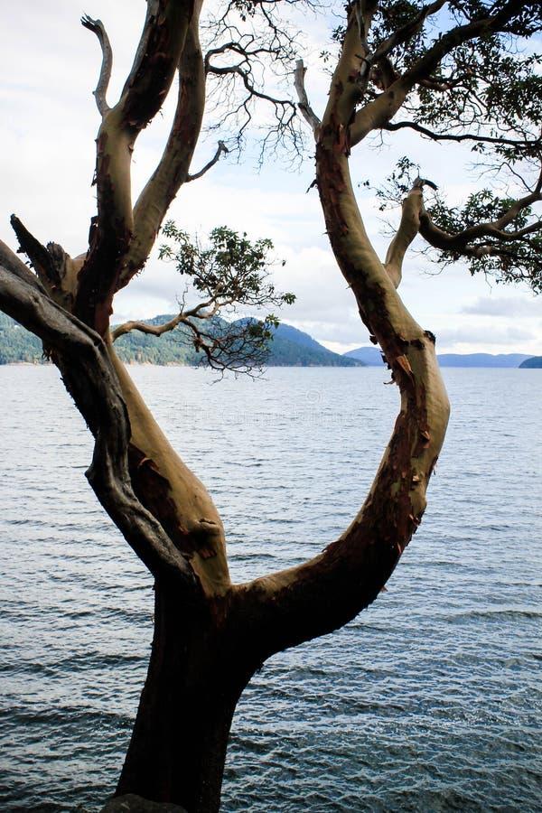 Durch den Magnolienbaum schauend auf szenisches Wasser, gestaltet Baum ein Bild von San- Juaninseln lizenzfreie stockfotografie