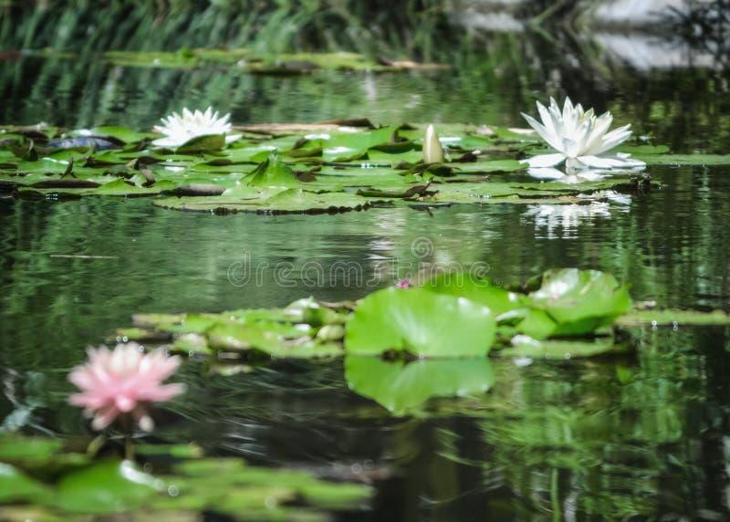 Durch Lilly Pond lizenzfreie stockfotos