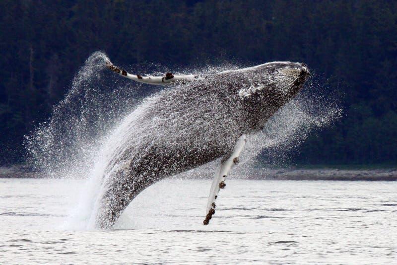 Durchbrechen, alaskischen Buckel-Wal springend stockbilder