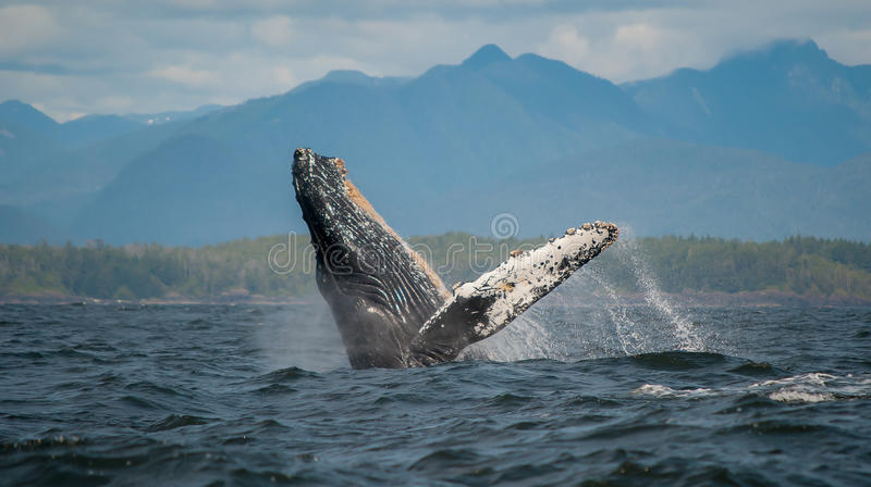 Durchbrechen des Buckel-Wals, Vancouver Island, Kanada stockfotografie