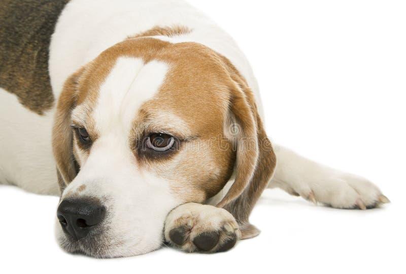 Durchdachter Hund des Spürhunds auf Weiß lizenzfreie stockfotografie