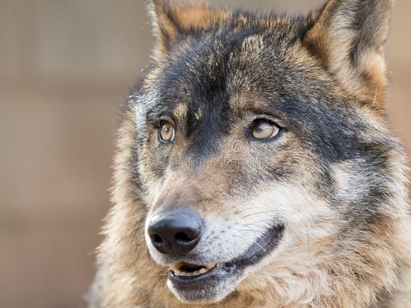 Durchdachter iberischer Wolf lizenzfreie stockbilder
