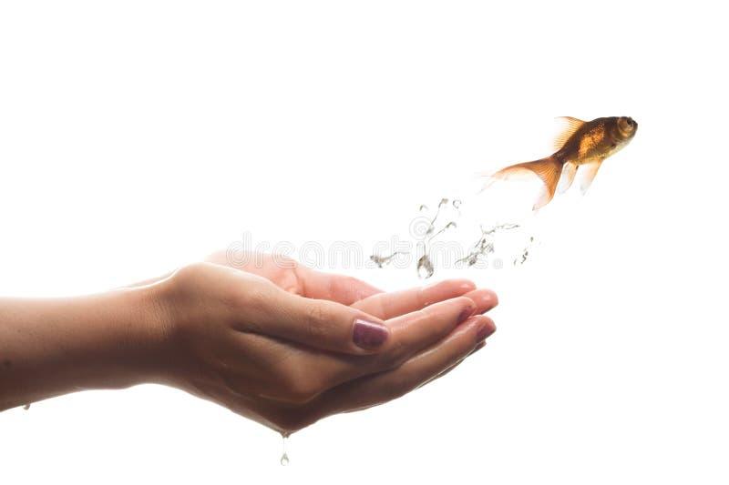 Durchgehen Goldfish stockfotos