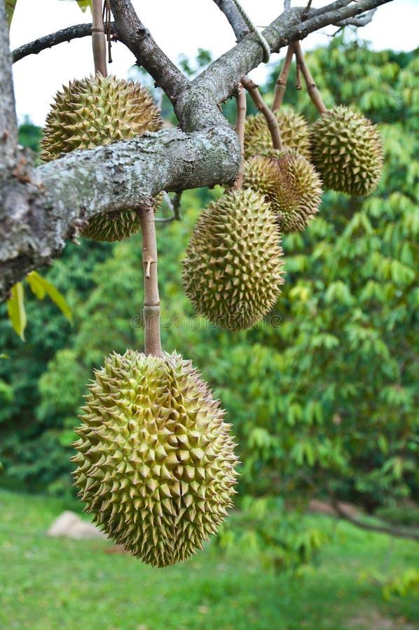durian βασιλιάς καρπού τροπικό&s στοκ εικόνα με δικαίωμα ελεύθερης χρήσης