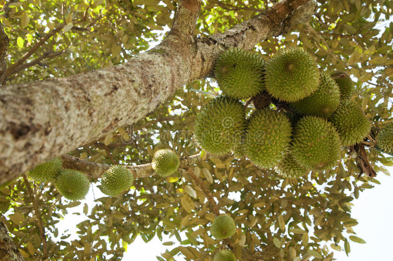 Download Durian stock image. Image of tree, food, season, thorn - 21256943