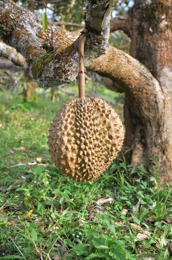 Durian zdjęcia stock