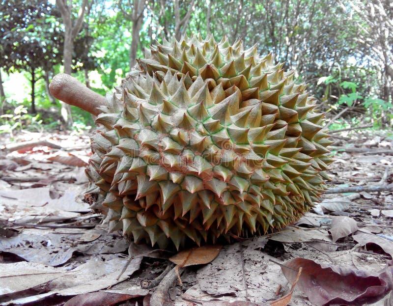 Durian royalty-vrije stock foto's