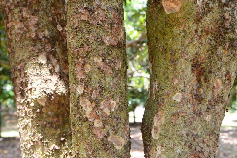 Durian barkentyna zdjęcia stock