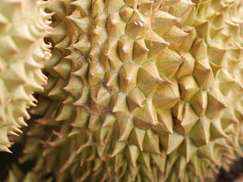 Durian dalla frutta della Tailandia pronta da mangiare dall'albero nell'oro giallo del giardino fotografia stock