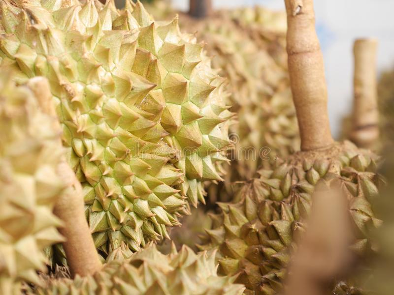 Durian dalla frutta della Tailandia pronta da mangiare dall'albero nell'oro giallo del giardino fotografie stock