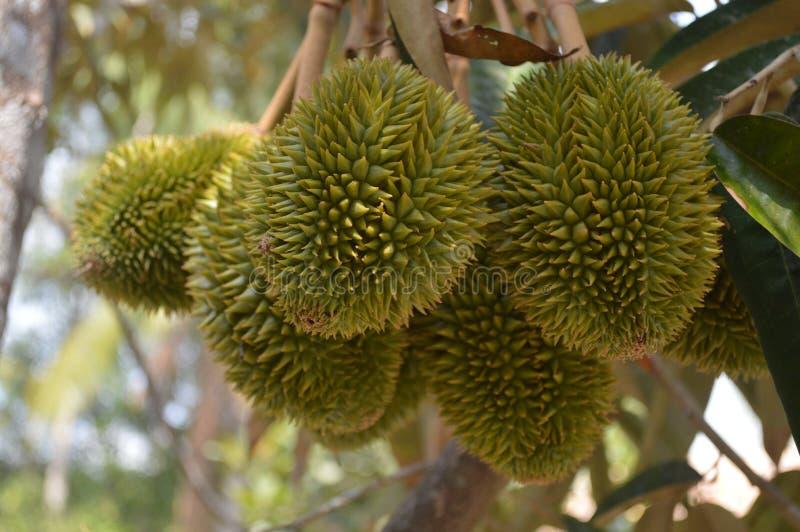 Durian del delta de Vietnam - del Mekong fotografía de archivo
