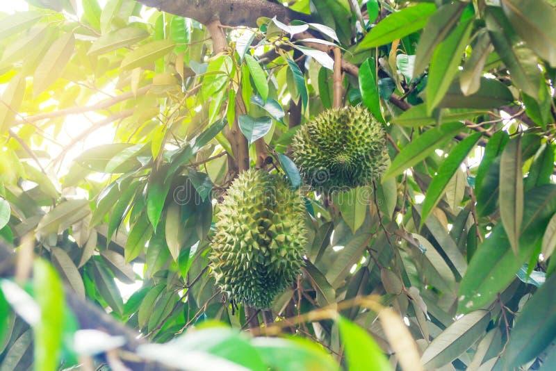 Durian drzewo, Świeża durian owoc na drzewnym królewiątku zdjęcie stock