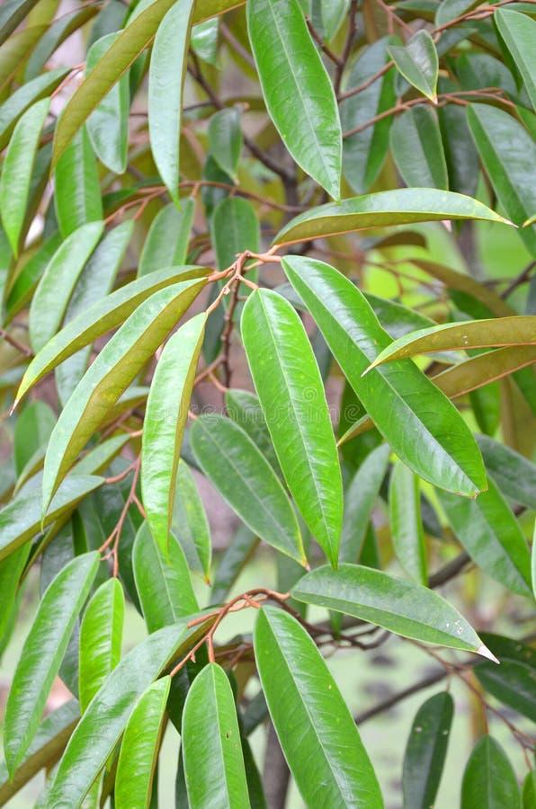 Durian drzewo. obraz stock