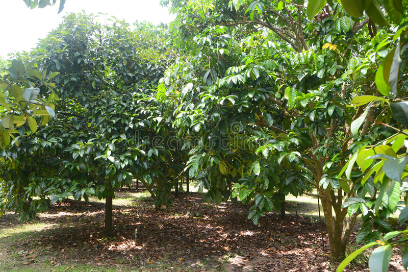 Durian drzewo fotografia royalty free