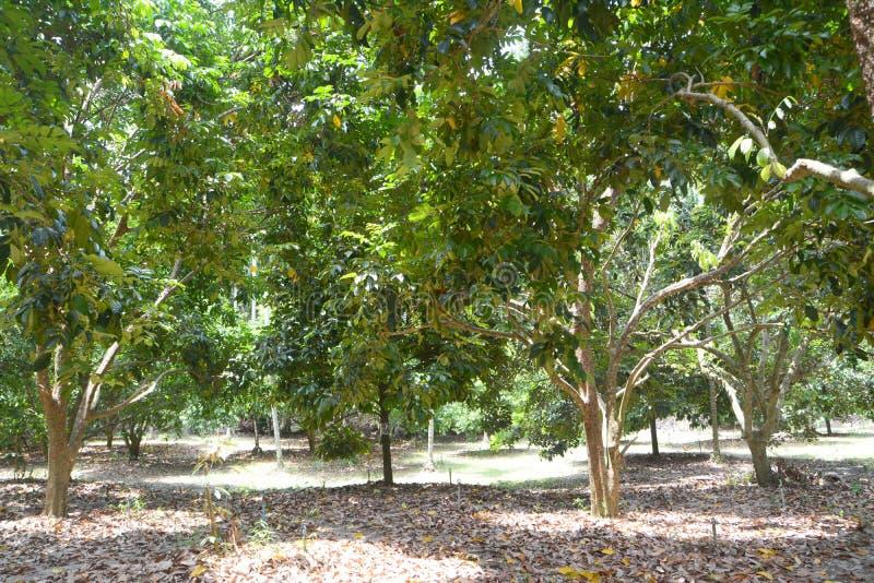 Durian drzewo obrazy stock