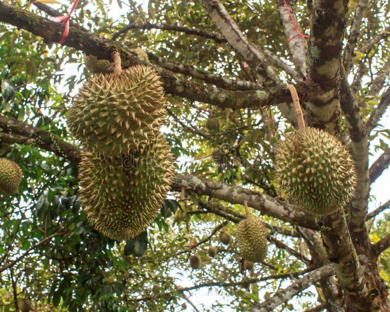 Durian drzewo zdjęcie royalty free