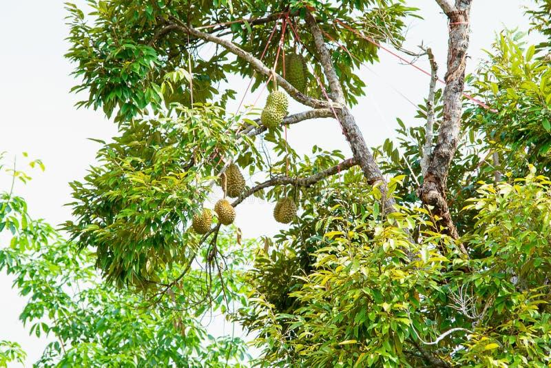 Durian is een Thais fruit stock foto