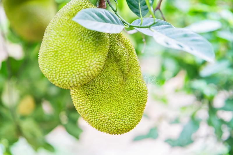 Durian fruit hanging in tree in Can Tho Vietnam. Durian fruit hanging in the tree in Can Tho, in Vietnam royalty free stock image