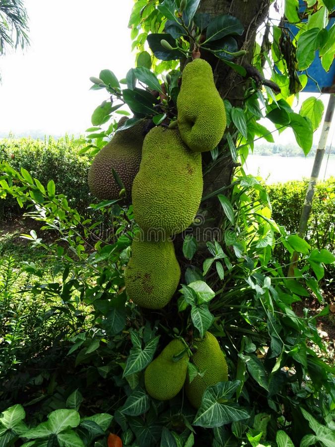 Durian fruit on a tree, close up. stock photo