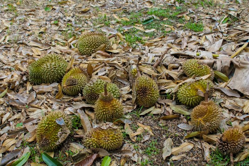 Durian fruits on the ground under the tree in the garden stock photography
