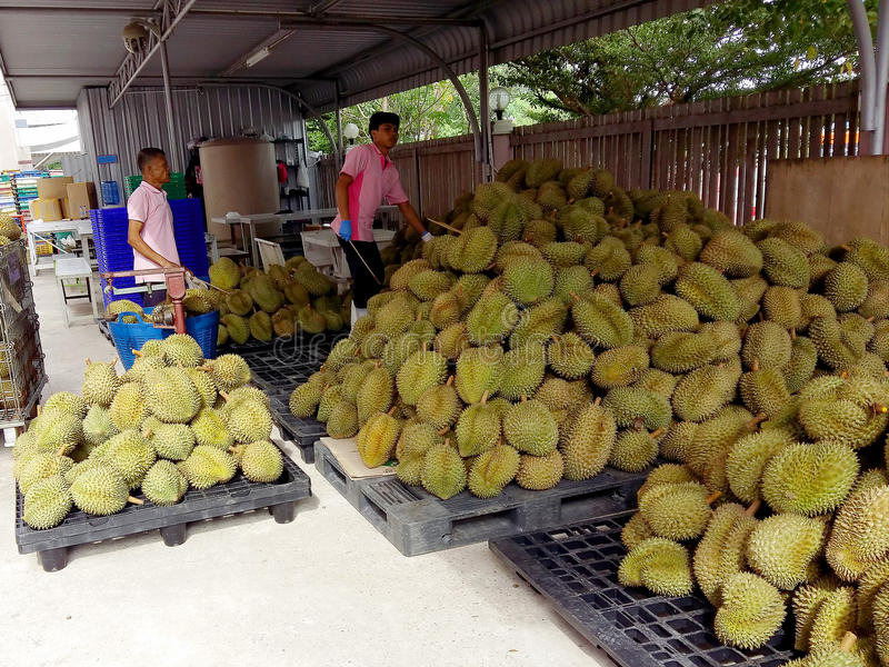 Durian growers Durian is preparing to pay out according to market. SAMUTSAKHON THAILAND - August 03, 2016 :Durian growers Durian is preparing to pay out stock photos
