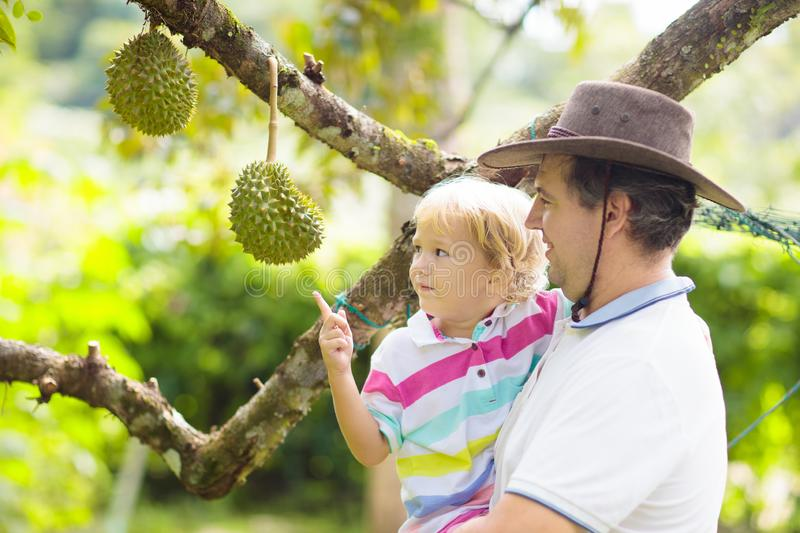 Father and child picking durian from tree royalty free stock image