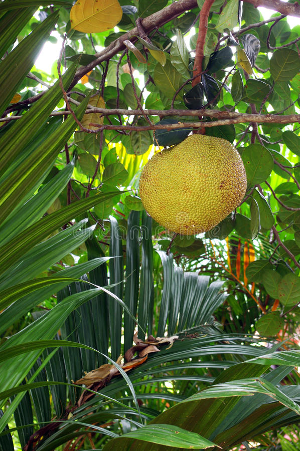 Free Durian Hanging On Tree Stock Photo - 15756920