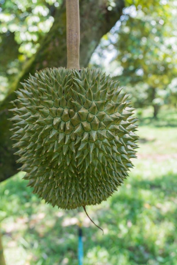 Durian il re dei frutti immagini stock libere da diritti