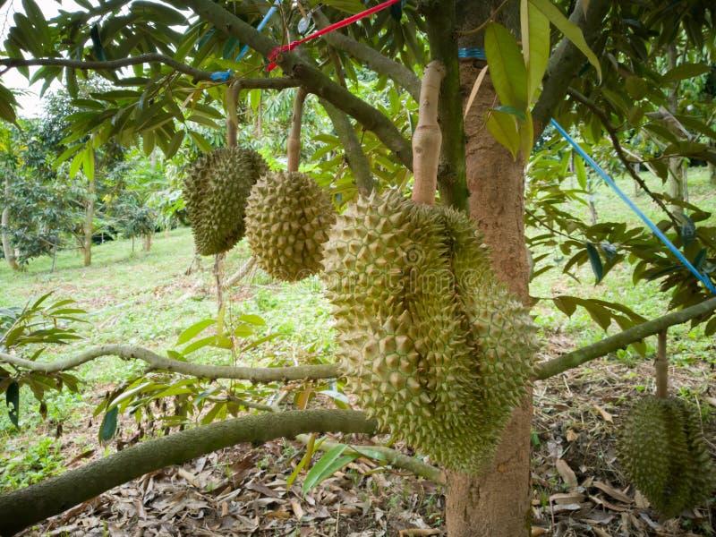 Durian im Garten Scharfer Dorn lizenzfreies stockbild