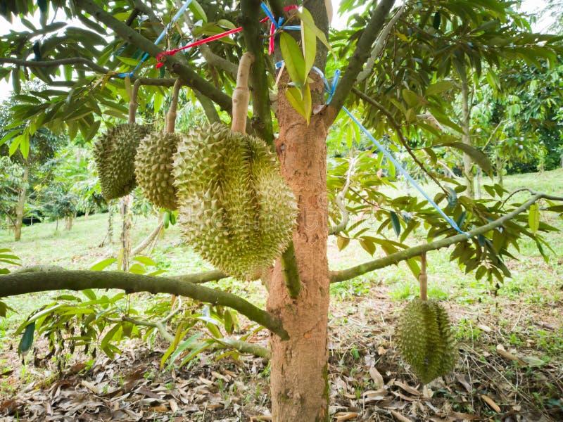Durian im Garten Scharfer Dorn stockbild