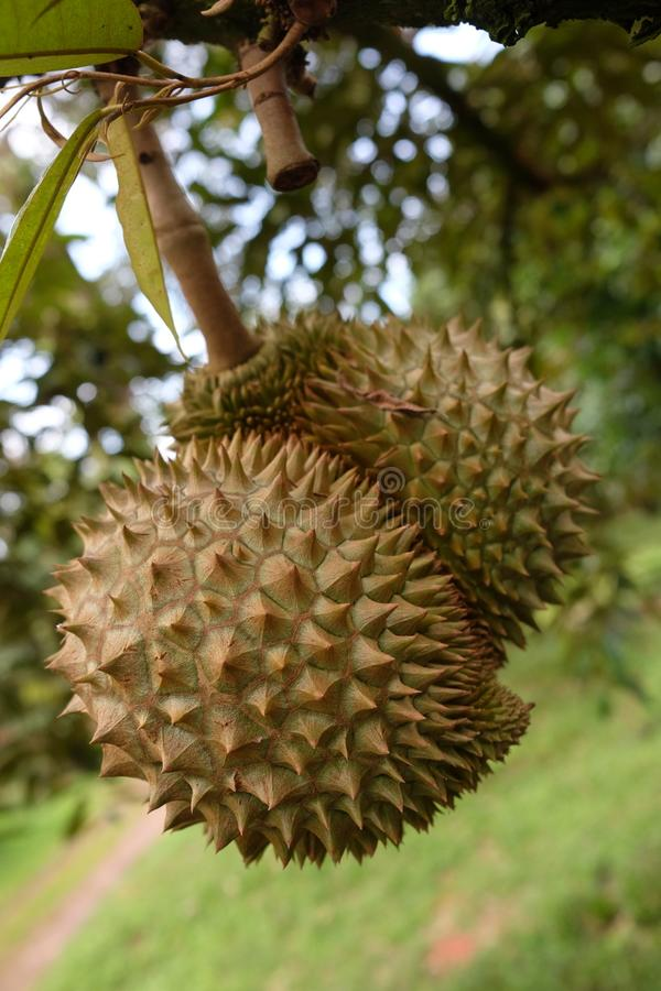 Durian, królewiątko owoc w Tajlandia zdjęcia royalty free