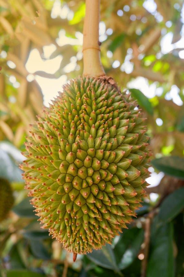 Durian na árvore imagem de stock royalty free