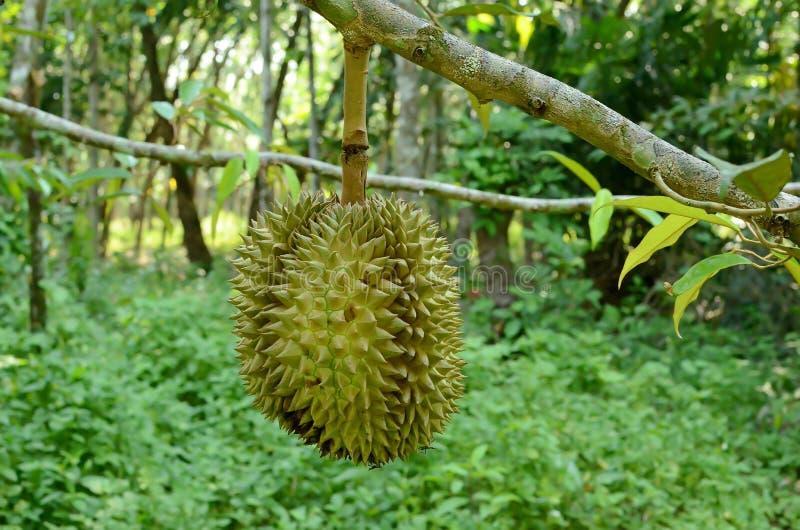 Durian na drzewie obrazy stock