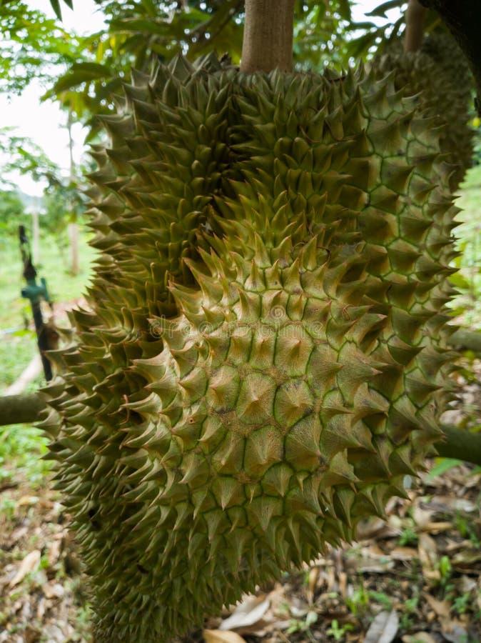 Durian no jardim Espinho afiado foto de stock