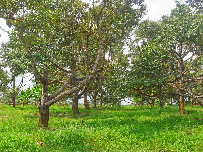 Durian ogród obraz royalty free