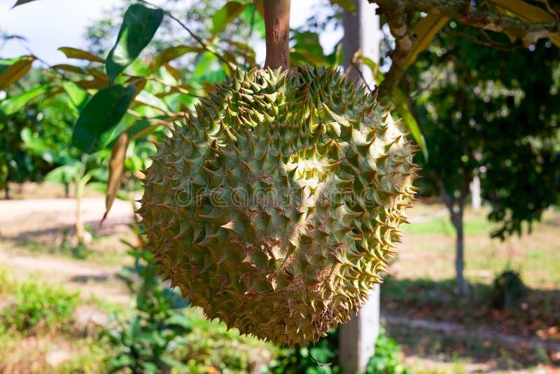 durian op boom in de boomgaardtuin, koning van vruchten Thailand stock afbeelding