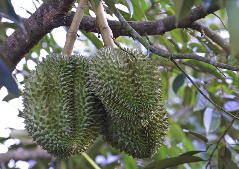Durian på träd arkivbild