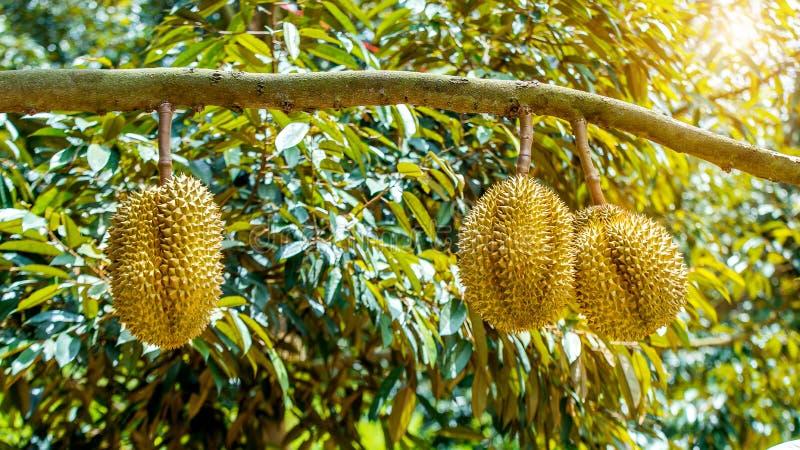 Durian på träd royaltyfri fotografi