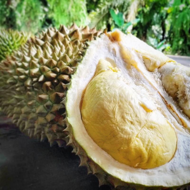 Durian pulp in shell stock photography