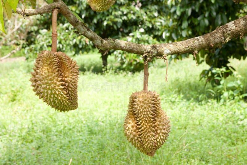 Durian, rei da fruta tropical fotos de stock royalty free