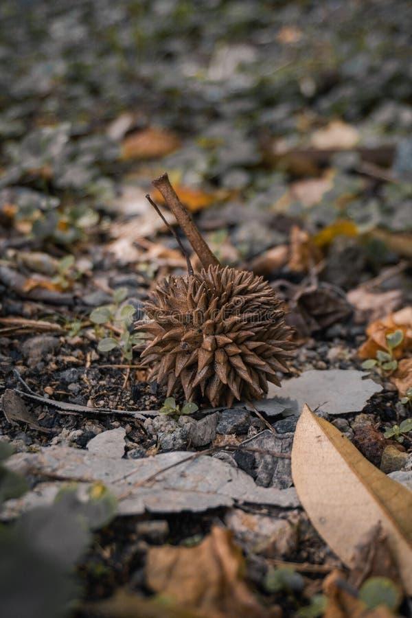 Durian sec image libre de droits