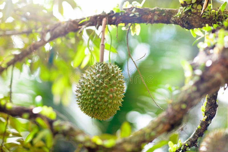 Durian sur l'arbre Roi de fruit photographie stock libre de droits