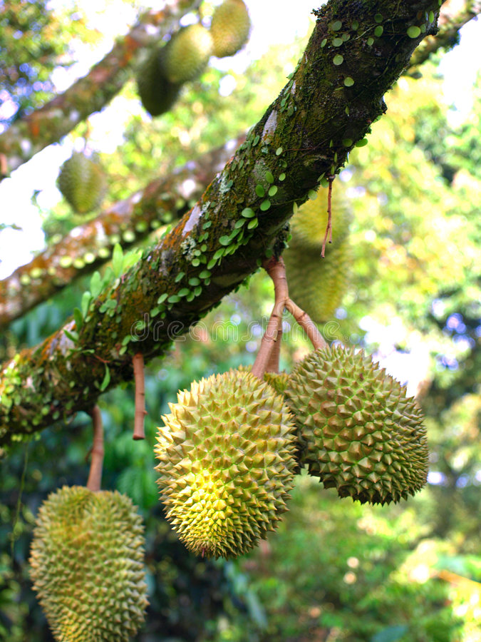 Durian on tree. Its the durian fruit season. Durians are hanging on the tree stock photos